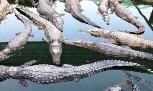 Giá cá sấu xuống thấp nhất 3 năm