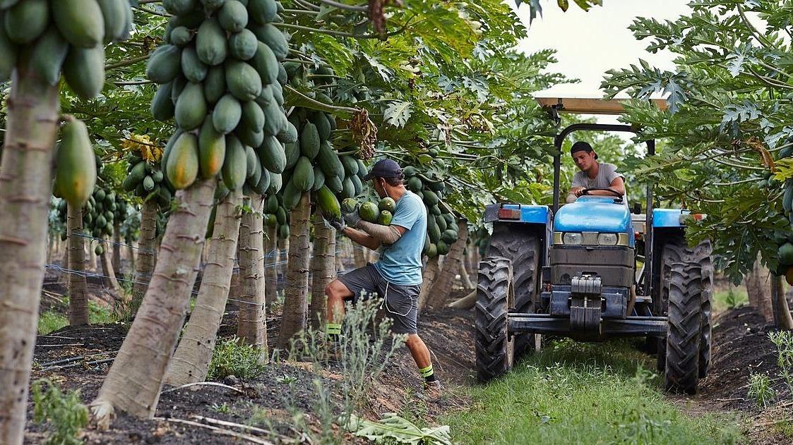 Nông dân Australia 'đỏ mắt' tìm người hái đu đủ, dâu tây