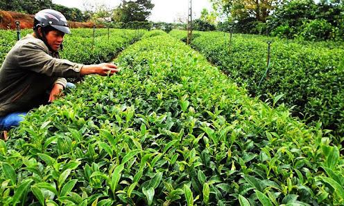 Việt Nam dẫn đầu xuất khẩu trà sang Đài Loan