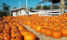 Mỹ thiếu bí ngô chơi Halloween